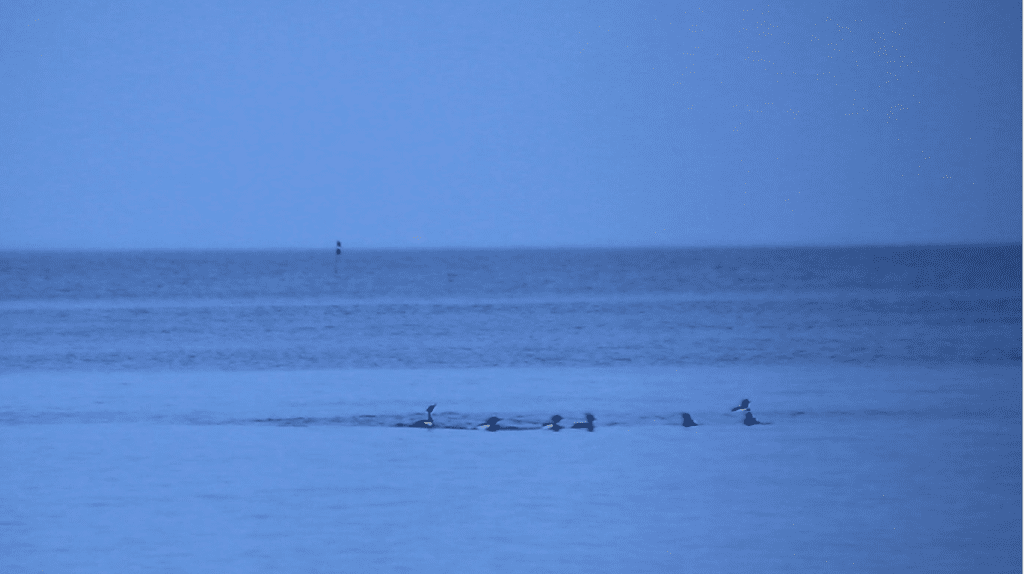 A gang of great Merganser.